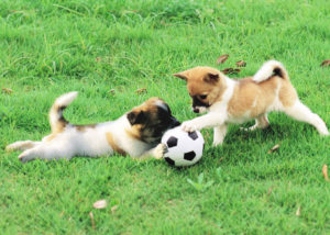 puppies-playing